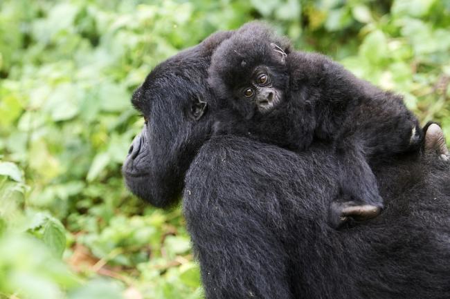 Mountain gorilla carrying her baby, Virunga National Park, Democratic Republic of Congo