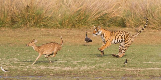 Tiger chasing a deer in Ranthambhore national park, India