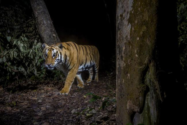 A tiger in Bardia National Park, Nepal