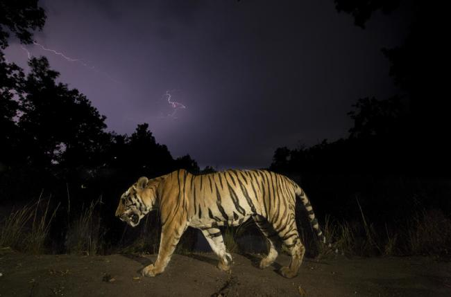 Bengal tiger (Panthera tigris tigris) walking at night