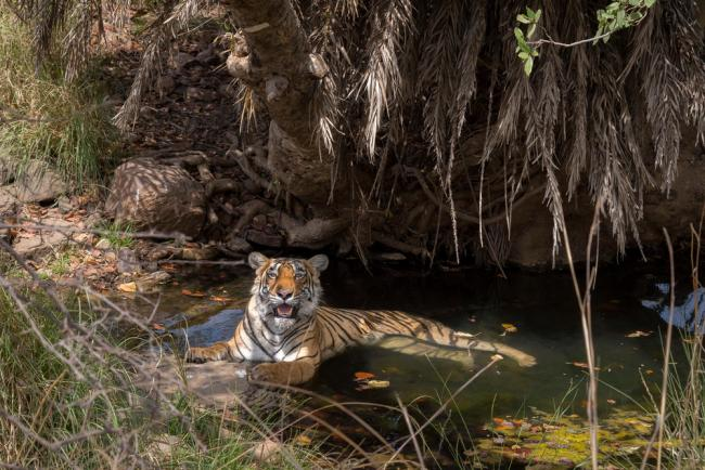 A tiger (Panthera tigris) resting in a watering hole.