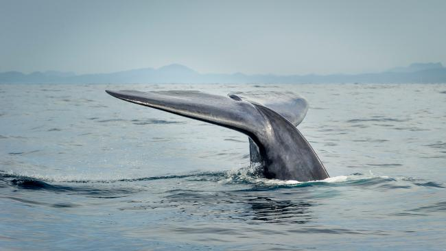 A blue whale ( Balaenoptera musculus )
