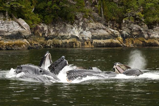 A pod of Humpback whales (Megaptera novaeangliae) bubble-net feeding in Whale Channel, British Columbia, Canada