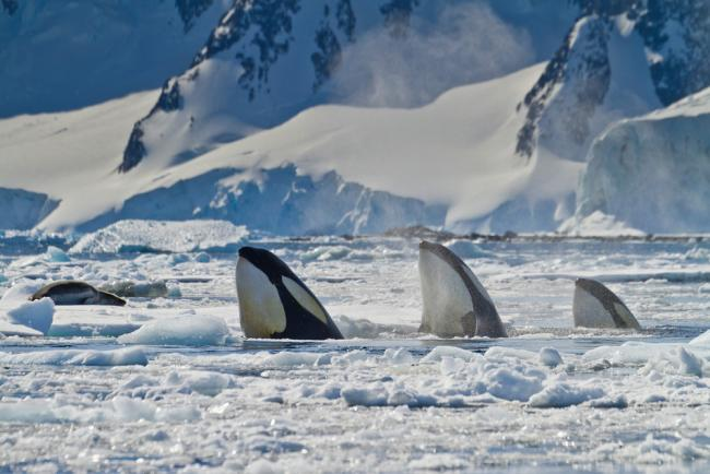 Three killer whales (Orcinus orca)