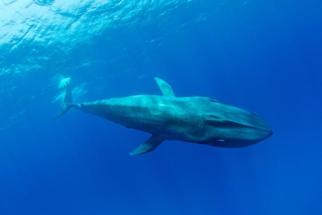 Pygmy blue whale (Balaenoptera musculus brevicauda) subspecies of blue whale