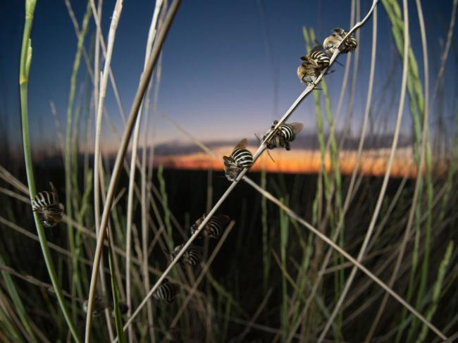 Sleeping male long-horned bees,