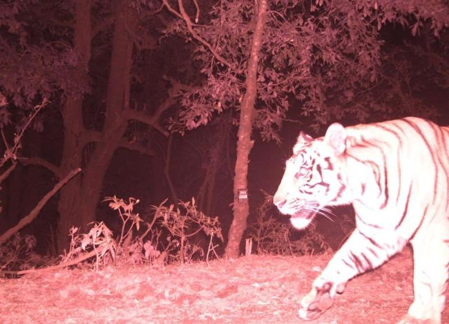 Bengal tiger, camera trap