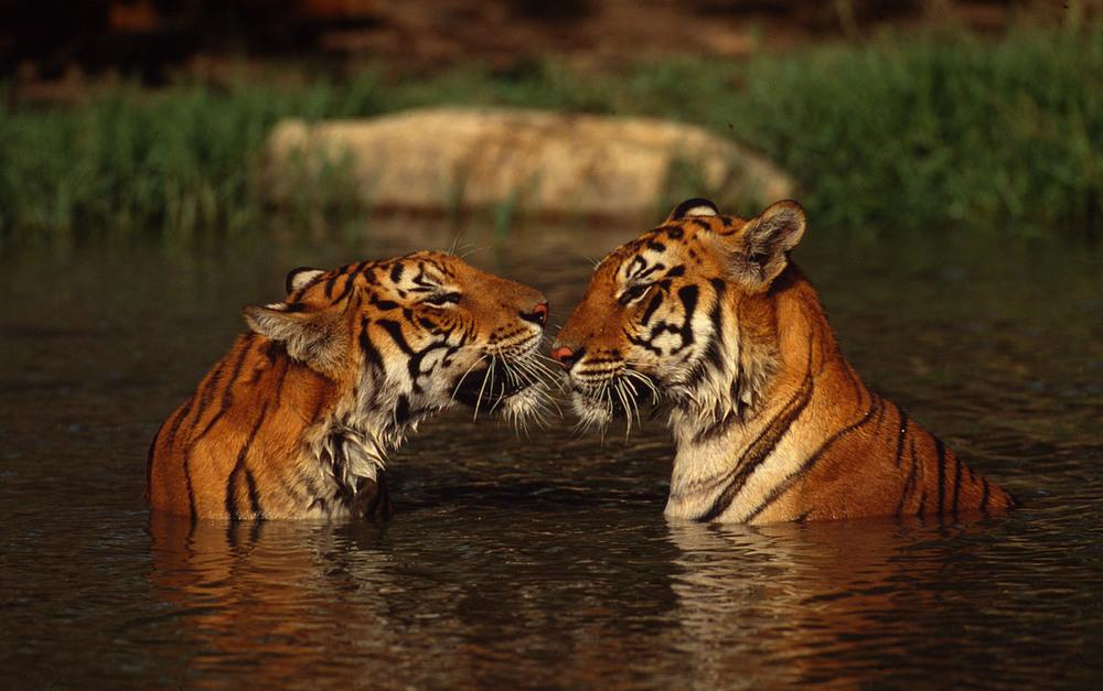 top 10 facts about tigers