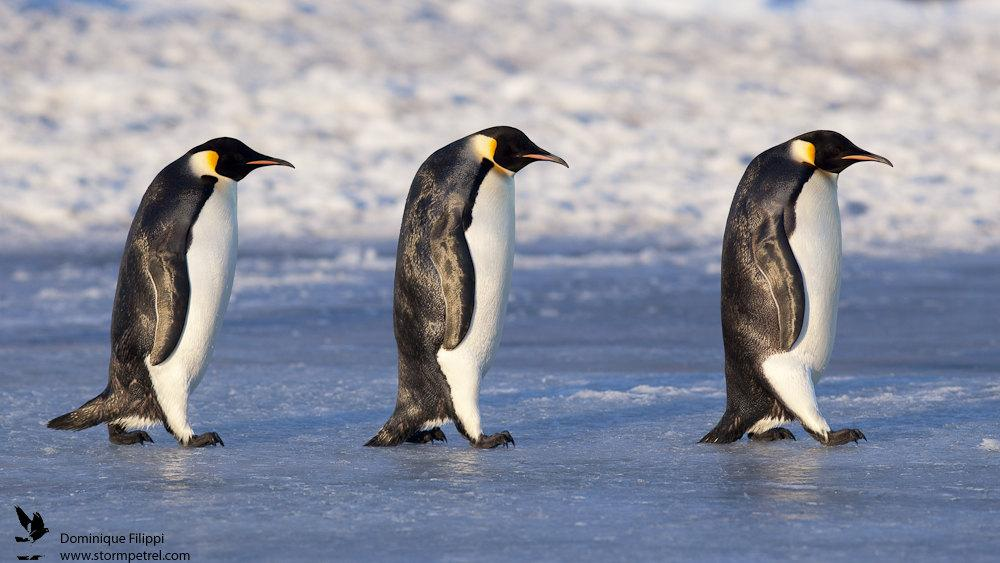 Top 10 facts about Emperor Penguins