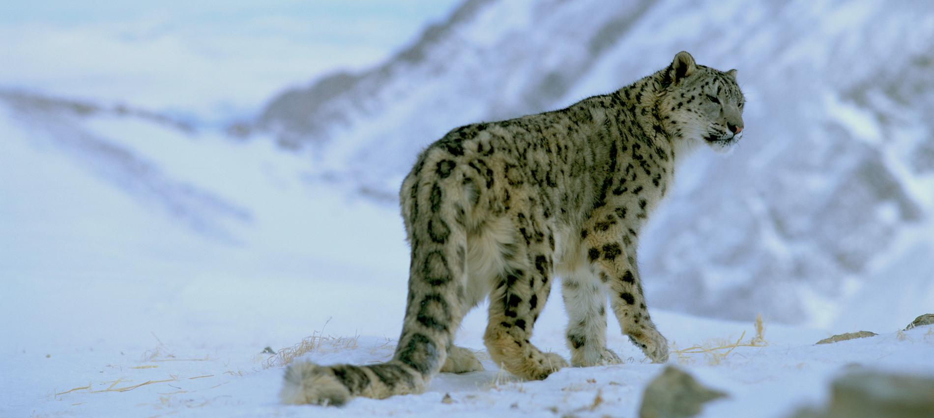 Top 10 facts about snow leopards