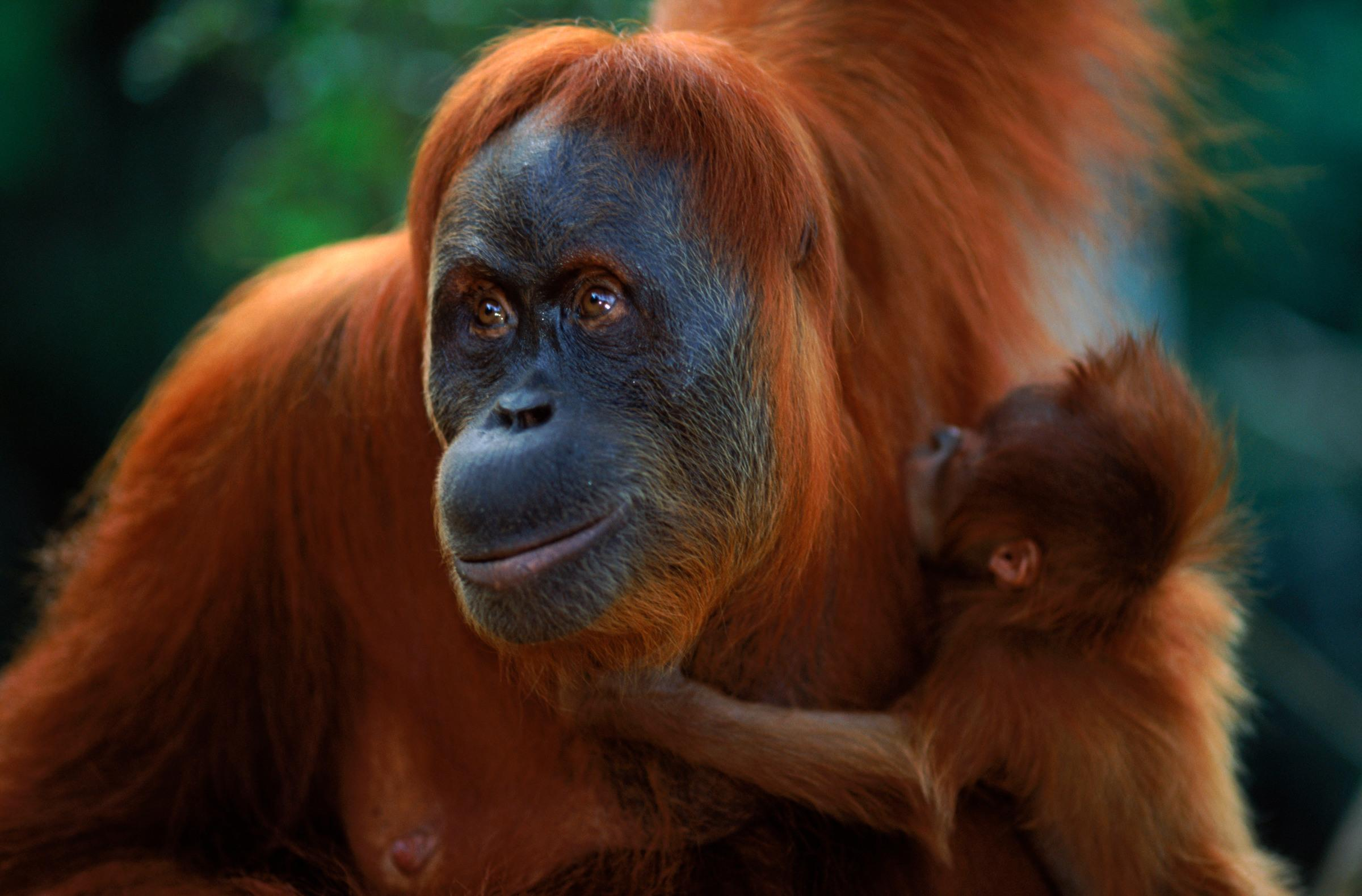 Top 10 facts about orangutans