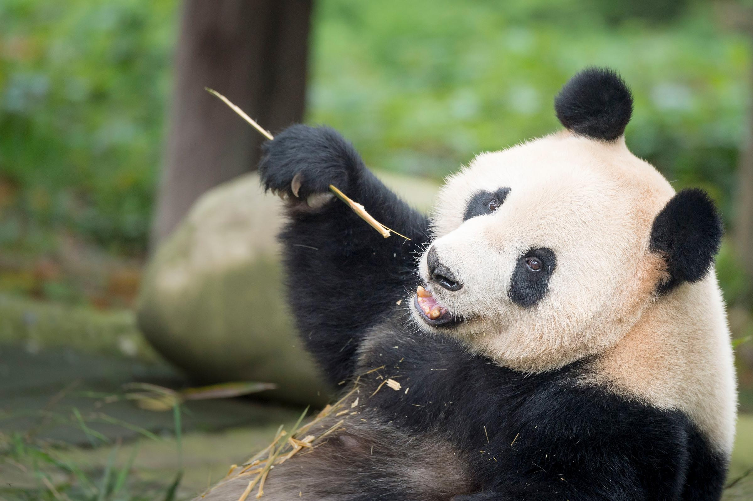 top 10 facts about Pandas