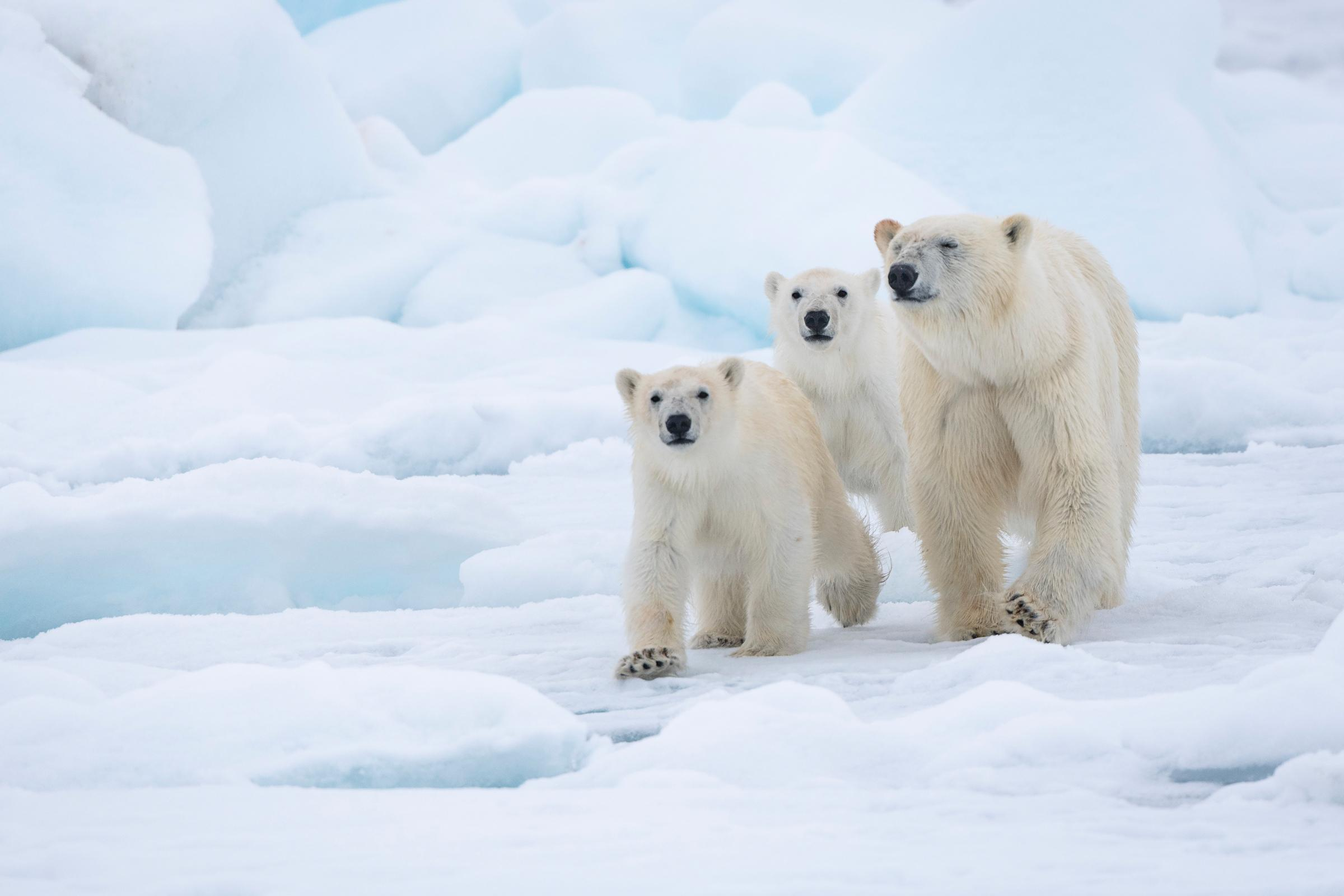 Top 11 facts about Polar Bears