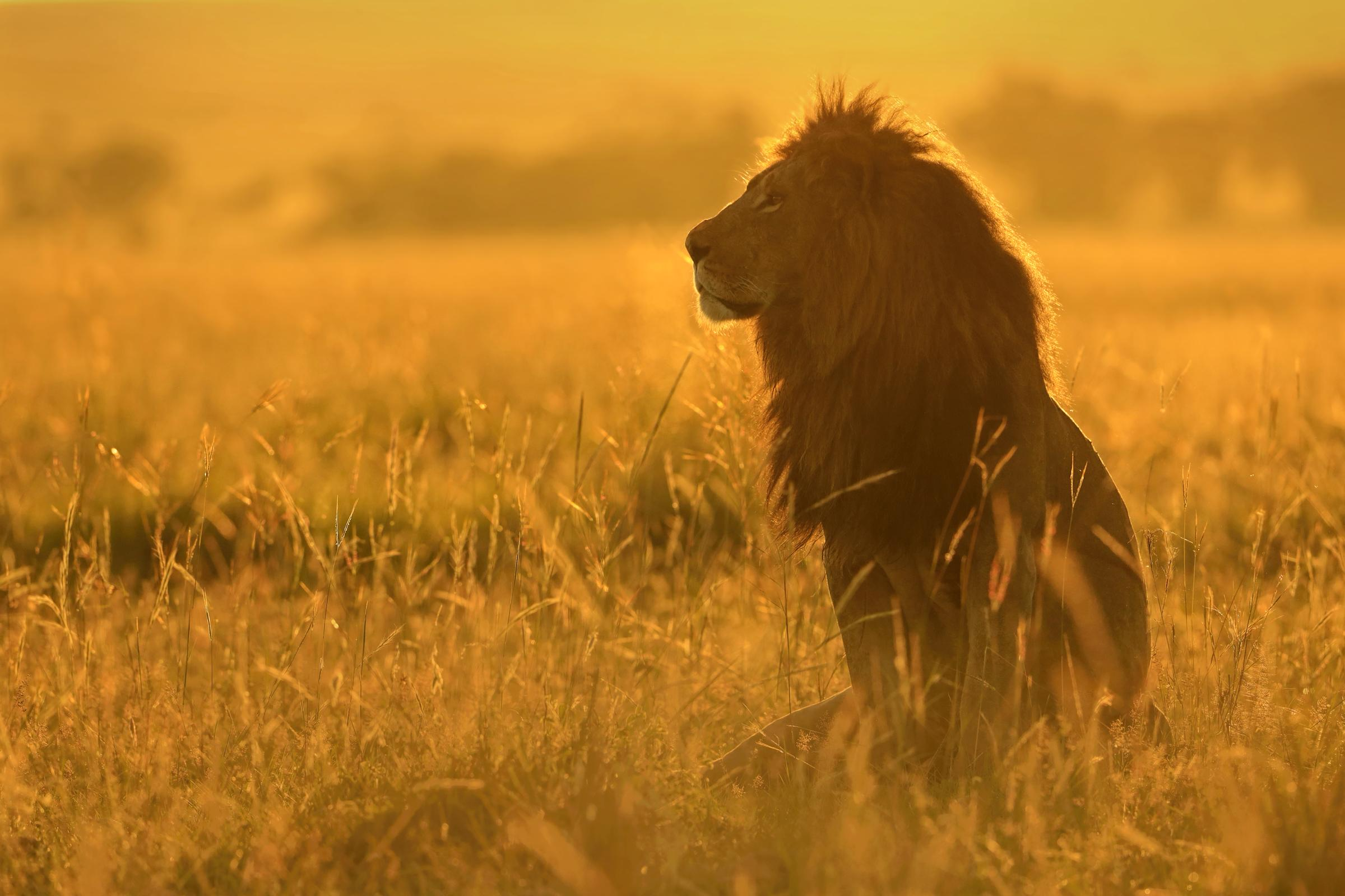 Top 10 facts about lions