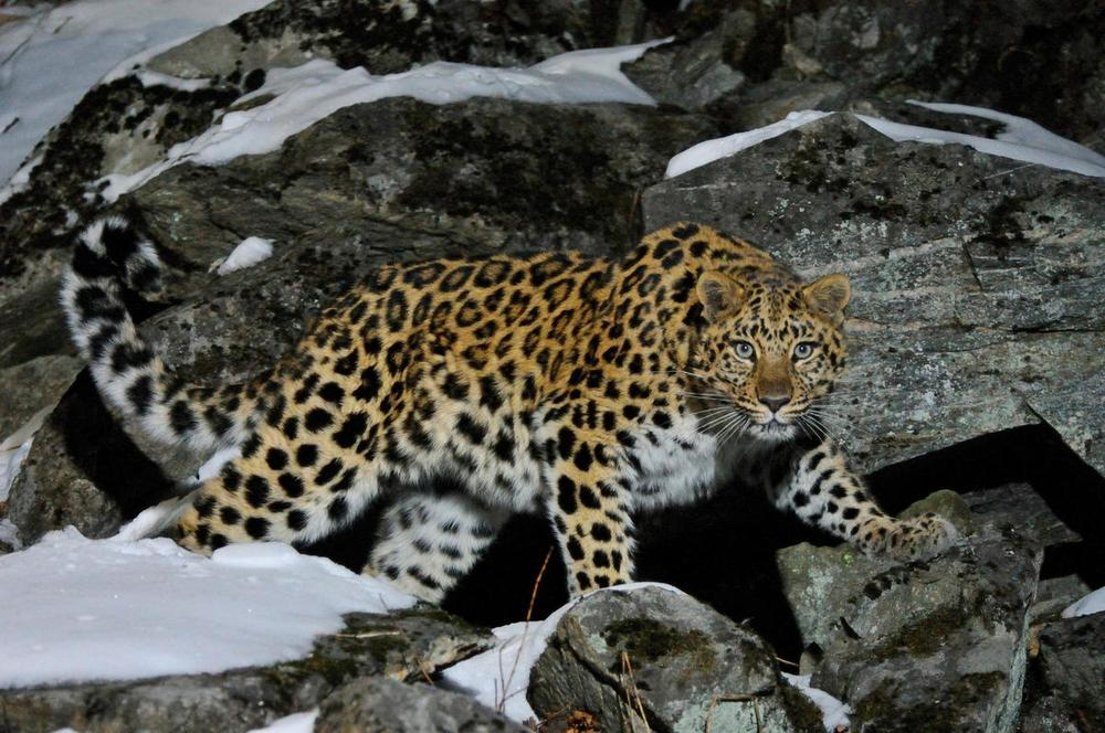 Top 10 facts about Amur leopards