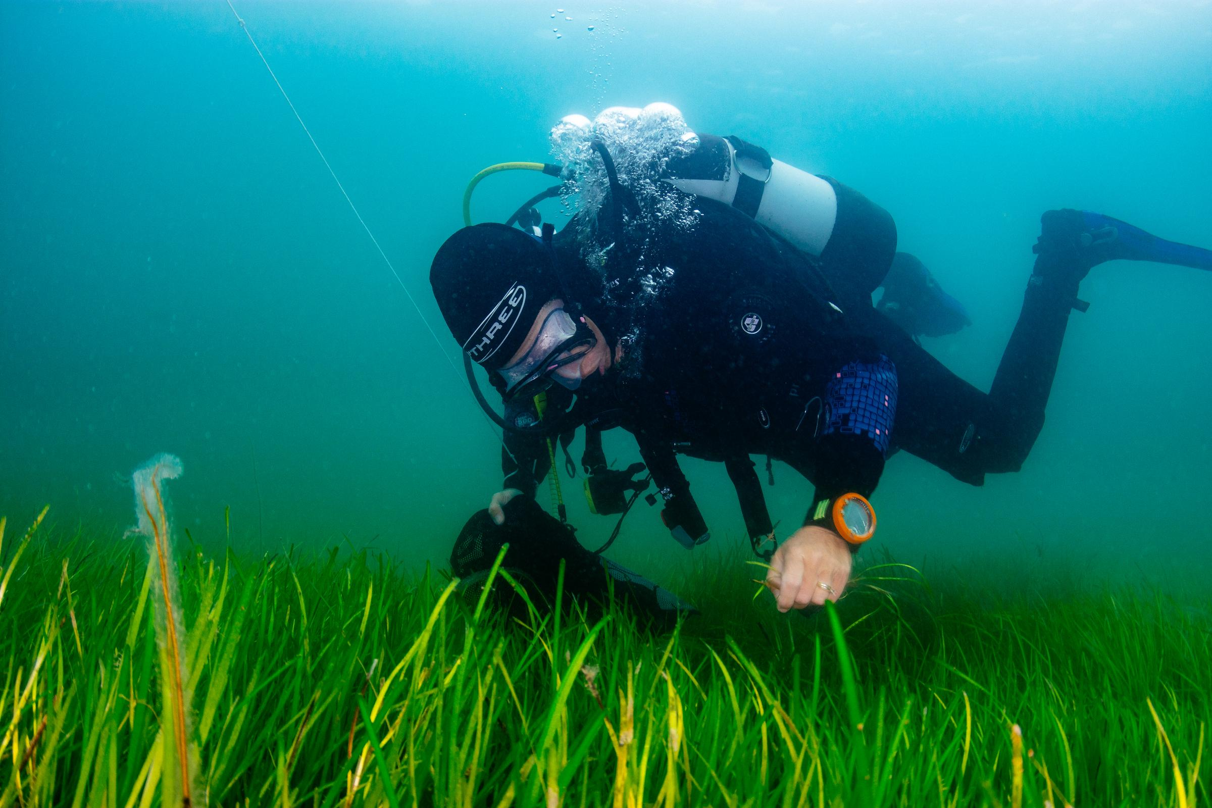 Seagrass: The wonder plant