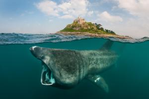 Basking shark off of the coast
