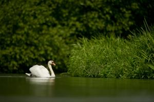 A Mute Swan chilling on a river in the UK