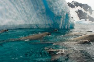Crabeater seals off the western Antarctic