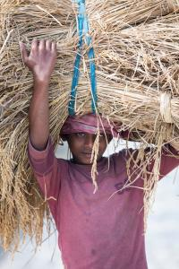 Rice crops harvested, and being carried by hand in the Sunderbans, Ganges, Delta, India.