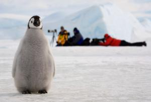 Emperor penguin (Aptenodytes forsteri) chick by a line of photographers. Snow Hill Island, Antarctica