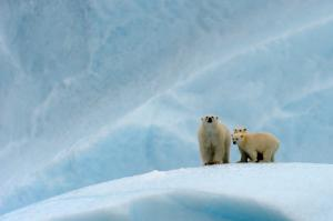 Polar bear female and her two cubs on an iceberg © naturepl.com / Eric Baccega / WWF