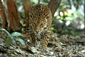 Jaguar walking through the forest