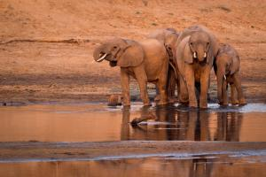 A herd of African elephants ( Loxodonta africana ) drinking from a watering hole