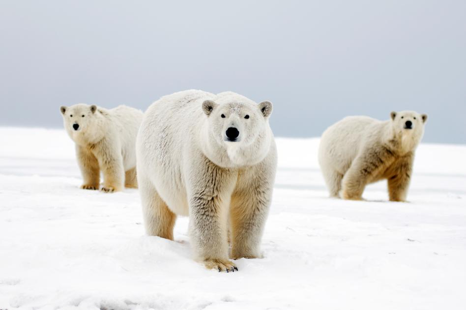 11 Facts You Didn T Know About Polar Bears Wwf