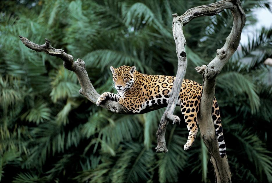 Top 10 facts about Jaguars   WWF