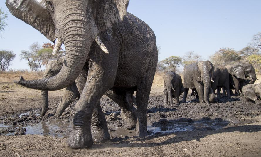 African elephants caught on camera trap, Namibia