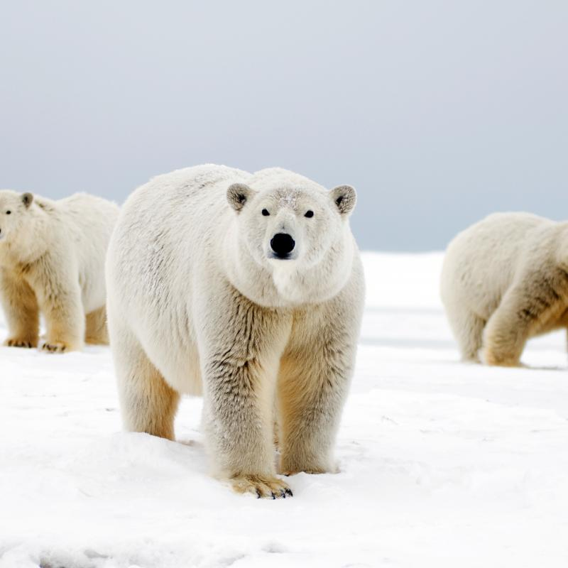Polar bears and their retreating habitat essay