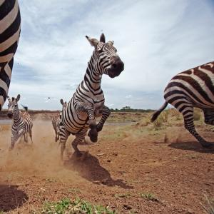Zebra running and jumping