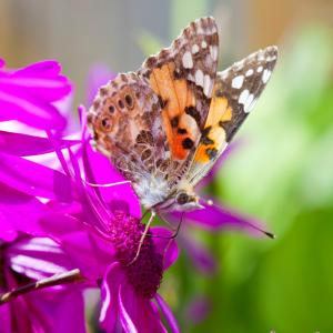 A Painted Lady butterfly feeding on garden flowers, UK.