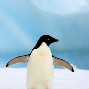 Emperor Penguins Adlie Adopt A Penguin