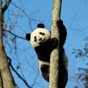 Panda clinging to a tree