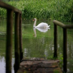 Swan on a river in the UK