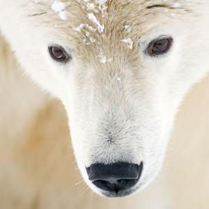 Close up of a polar bear