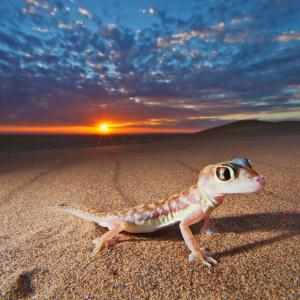Web-footed gecko in the Namib desert, Namibia.