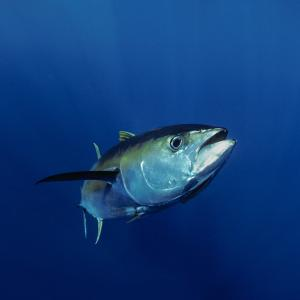 Giant Yellowfin Tuna (Thunnus albacares), Mexico, Pacific Ocean.